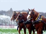 Working Draft horsese WV.