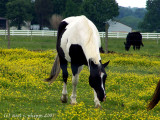 Grazing on Wild Flowers.