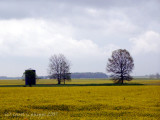Indiana Mustard Fields.