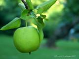 The Ol' Apple Tree!