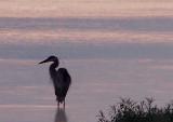Blue Heron Sunrise MILTON.JPG