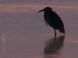 Blue Heron MILTON.JPG