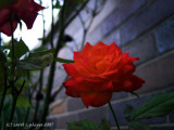Autumn Rose!