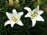 Asian Lillies 2007