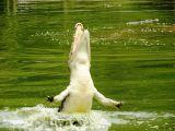 Crocodile Leaping