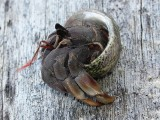 Hermit Crab about to move