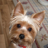 Jake - Our Yorkshire Terrier