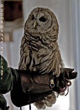 Barred Owl at the VINS