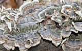 Turkey tail Fungus