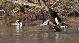 Hooded Mergansers Foraging