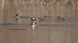 The lead merganser dives