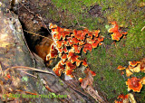 Orange Shelf Fungus