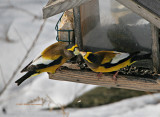 Evening Grosbeak Visit