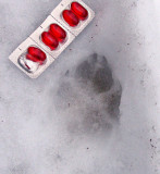 Coyote or Wolf Track In Ice