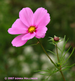 Cosmos pink or