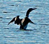 Silhouette of a Loon on Fresh Pond