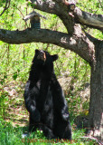 This Bear wants the bird suet and seed