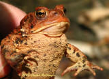 Red Toad near home