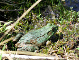 Green Frog with Nice Eyes