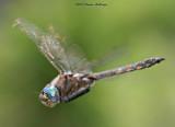 Green Eyed DragonFly