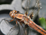 Close up female White corporal Dragonfly