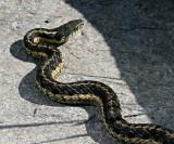 Snake in Sigma shape
