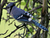 Blue Jay ruffing his crest