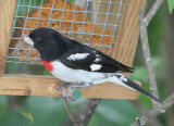 Red Pepper Suet and the Hungry Grosbeak