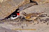 Jimmy Durante...the male Grosbeak