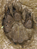 Not! Bear Front Paw Print