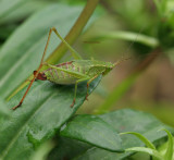 Katydid on Gazania Leaf