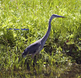 Great Blue Heron Frogging