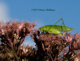 Katydid post excrement