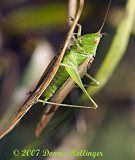 Katydid hanging on!