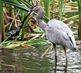 Great Blue Heron with Frog