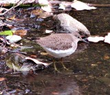 Least (or Solitary?) Sandpiper