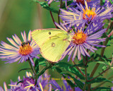 Pink-edged sulphur on aster