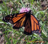 Monarch with bent wing