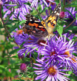 Painted Lady on Aster