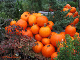 Pumpkins in the Rain I