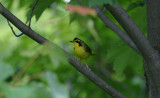 KY Warbler
