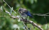 Eastern Bluebird - Juvenile male
