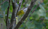 Yellow-throated Vireo Gets Lunch