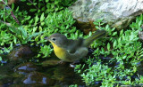 Common Yellowthroat on Compton Mt - September 24, 2007