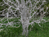 Häggspinnmal - Yponomeuta evonymella - Bird-cherry Ermine