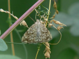 Sommargyllenmott - Evergestis pallidata