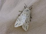 Prickig tigerspinnare - Spilosoma lubricipedum - White ermine
