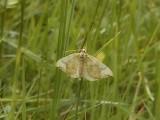 Blåbärsparkmätare - Eulithis populata - Northern Spinach