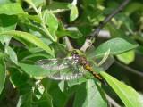 Citronfläckad kärrtrollslända  - Leucorrhinia pectoralis - Yellow-spotted Whiteface