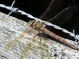 Brun mosaikslända - Aeshna grandis - Brown Hawker